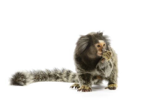 Marmoset Behaviour