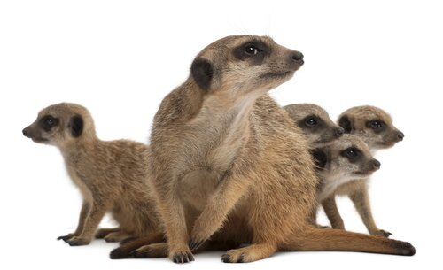 Meerkat Behaviour
